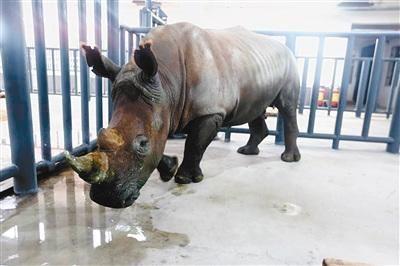 5只南非白犀牛在西安秦岭野生动物园安家落户